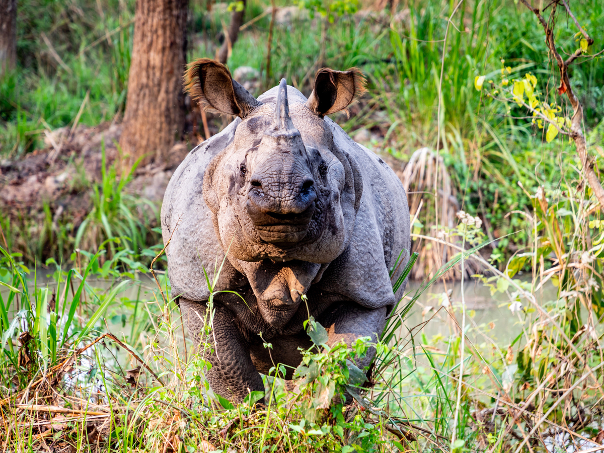 One horn rhino is nearly about extinct